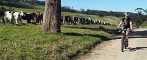 cowswatchin